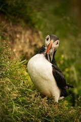 Puffin Foraging #3