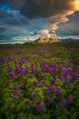Iceland Lupine Field Sunrise