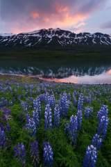 Iceland Lupine Sunset