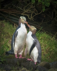 A pair of yellow-eyed penguins stare lovingly into each other eyes along the coast of New Zealand's south island.