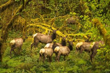 Quinault Elk Herd