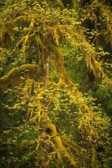 Rainforest Lace