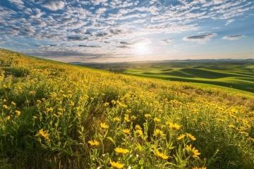 Golden Flower Fields