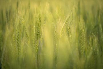Wheat Dreams