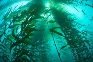 Kelp Cathedral