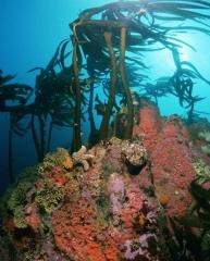 Cabezon Atop Reef