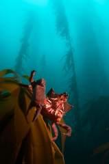 Portrait of a Kelp Crab