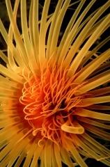 Golden Tube Anemone