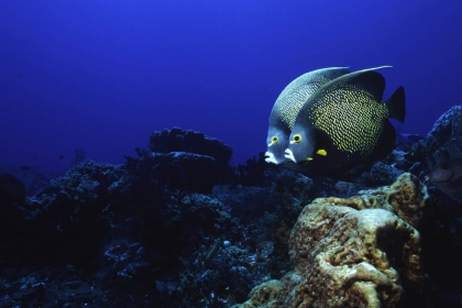 French Angelfish Couple