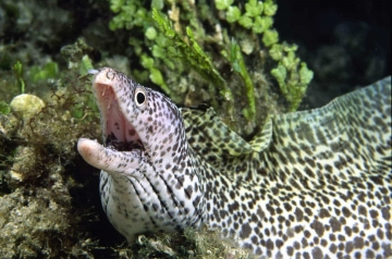 Spotted Moray Eel #1