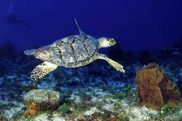 Hawksbill Turtle #1