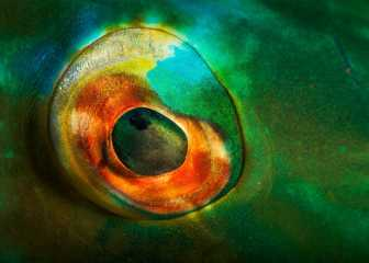 Eye of the Parrotfish