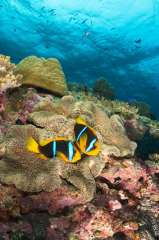 Underwater image in Fiji of two anemonefish (clownfish) on top of coral reef.