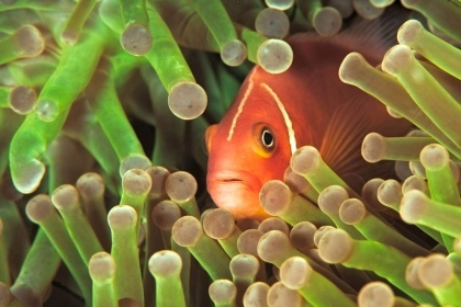 Underwater image in Fiji of  orange clownfish in green anemone.