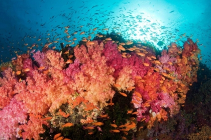 Underwater image in Fiji of soft coral reef with schooling orange fairy basslets (Anthias).