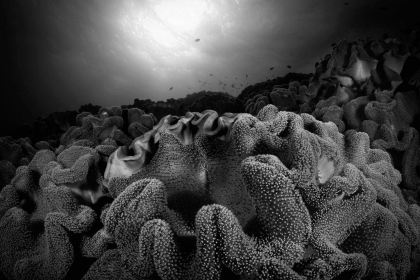 Underwater monochrome image in Fiji of leather corals and sun shining down.
