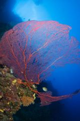 Underwater image in Fiji of red gorgonian and tropical blue water.