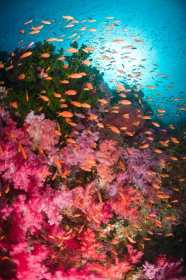 Underwater image in Fiji of soft coral reef with schooling Anthias.