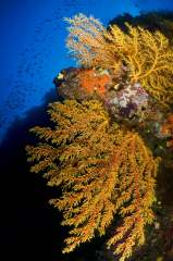 Underwater image in Fiji of yellow gorgonian sea fans and schooling fish in tropical blue waters of the South Pacific.