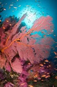 Underwater image in Fiji of red gorgonian sea fan.