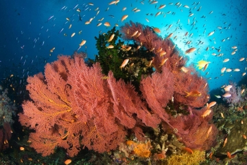 Underwater image in Fiji of gorgonian sea fans along tropical reef.