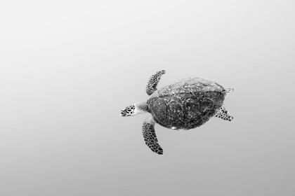 A hawksbill turtle swims along the outskirts of a tropical coral reef in the South Pacific island nation of Fiji.