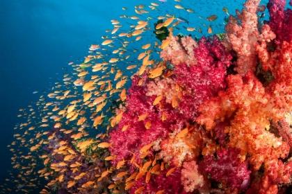 Orange Anthias swim over colorful soft corals in Fiji.