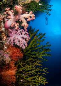The amazing underwater soft corals of the tropical island of Fiji are world class. The beauty found in the underwater world is mind blowing as evidenced here by the myriad of blazing shapes, patterns, and colors.