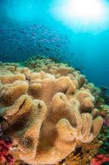 Soft corals and a passing school of fish become one in the underwater world of Fiji. Located in the South Pacific ocean, this island nation is home to a diverse array of marine life including tropical reefs loaded with fish and invertebrate life.
