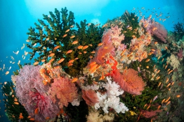 Orange fairy basslets school over soft coral reef in South Pacific island Fiji.