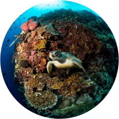 As the current carried me along a tropical reef wall in the Bunaken Marine Park, I came across this sea turtle. As it left the confines of its perch, it swam towards me. I was able to capture this reef scenic with my circular fisheye lens with its 180 degree view.