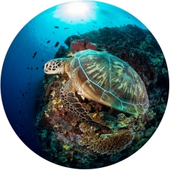 A large sea turtle begins to swim away from the confines of a tropical reef along the Bunaken Marine Park.