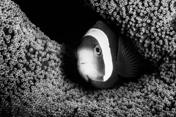 The textures and patterns found on anemones in Indonesia's underwater tropical reefs are showcased in this black and white image. The monochrome presentation highlights the contrast of the clownfish's coloration as well.