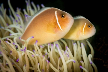 SCUBA diving along the shores of Indonesia, I photographed these two clownfish as they swam about their host anemone.