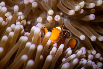 The macro world of Indonesia's underwater tropical reefs is home to a variety of anemonefish, also called clownfish. This orange clownfish poses in a purple anemone.