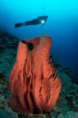 A simple reef scene found along Bunaken Island in Indonesia is complemented with a SCUBA diver swimming overhead. The red colors of the barrel sponge contrast beautifully with the blue ocean water.