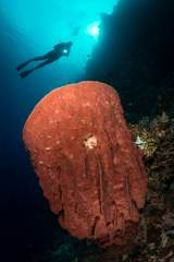 SCUBA diving underwater is a bit like flying. While on a dive along the coral reef walls of Bunaken Marine Park in Indonesia, a diver posed above a large, red barrel sponge.