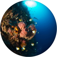 Using a circular fisheye lens to create this underwater wide angle photograph, I was able to include a variety of marine life, including schooling fish, large barrel sponges, a distant SCUBA diver, and the sun shining down through the tropical blue waters of the south seas.