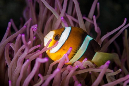 This underwater photograph of an anemonefish in a purple anemone was one of the more colorful ones I encountered while SCUBA diving in the North Sulawesi Sea region of Indonesia.