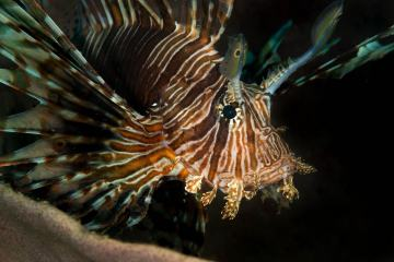 Lionfish are invasive in many parts of the world due to the live aquarium fish trade. But in the North Sulawesi Sea, these lionfish are native. I photographed this close-up portrait while on a SCUBA dive in Indonesia.