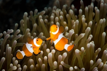 These two anemonfish danced and darted to and fro. While I encountered a lot of clownfish and anemones while SCUBA diving in Indonesia, the challenge was finding interesting compositions and lighting.