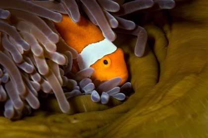 The frenetic swimming of clownfish, or anemonefish, can be a challenge to photograph while SCUBA diving, but with some patience, one can capture wonderful moments when they stop to look at the camera from the confines of their host anemone's tentacles.