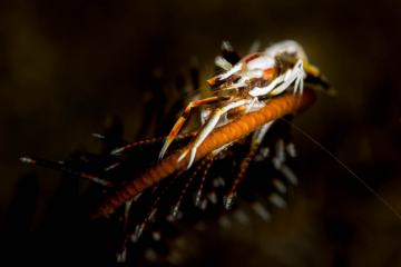 Crinoids are a type of echinoderm and have intricate arms for feeding. These arms are also home to different marine invertebrates such as this shrimp which I photographed in Indonesia.