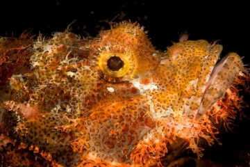 Indonesia's North Sulawesi Sea contains abundant marine life including countless species of fish, including this frilly-faced scorpionfish.