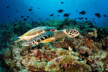 While SCUBA diving on Bunaken island, I saw many amazing sea turtles, including several hawksbill turtles. Watching them glide over the tropical reefs of Indonesia was a great experience.