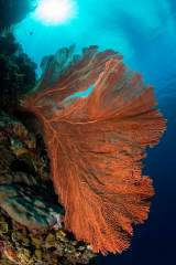 The tropical coral reefs of Indonesia, specifically Bunaken Marine Park, contain a wide variety or marine life including large soft corals such as this red sea fan, or gorgonian. SCUBA divers travel from all over the world to experience the underwater beauty found here in the south seas.