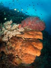 The mix of soft corals, hard corals, large sponges, and a variety of other marine life made my SCUBA diving trip to Indonesia a memorable one. The warm, blue tropical waters of the South Pacific mixed with amazing underwater beauty will ensure my return trip.