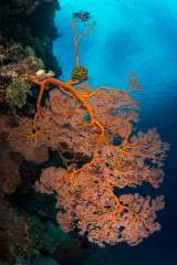 Bunaken Marine Park is home to a wide variety of hard and soft corals. SCUBA diving here is very popular due to the diverse marine life including this red gorgonian sea fan.
