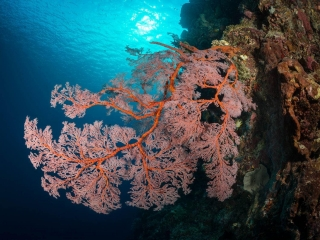 A sprawling red sea fan, or gorgonian contrasts with the rich, deep blue waters off of Bunaken Marine Park in Indonesia. The diverse reefs here ar ehome to a vast array of marine life.