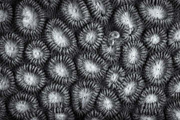 The textures and shapes of corals are accentuated with the visual presentation of a black and white photo. While SCUBA diving in Indonesia, I spent many dives focusing in on the amazing world of macro, observing the variety of marine life found there underwater.